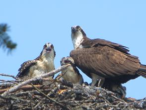 Osprey and young in nest