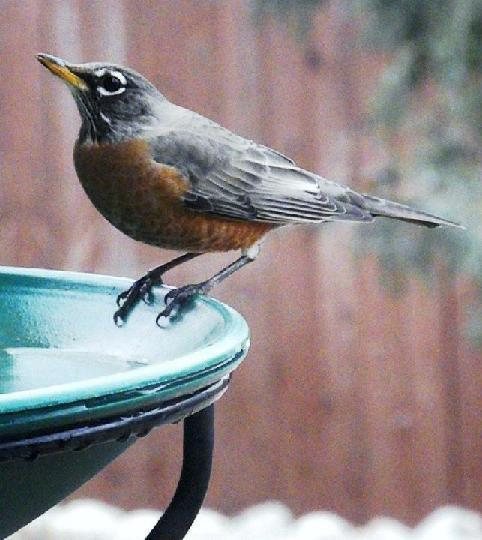 robin at a blue bird bath