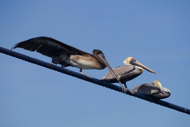 Pelicans on a wire