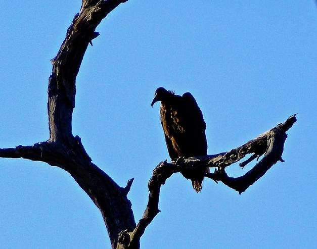 vulture in a bare tree
